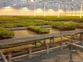 Stevia greenhouse cultivation testing site.jpg